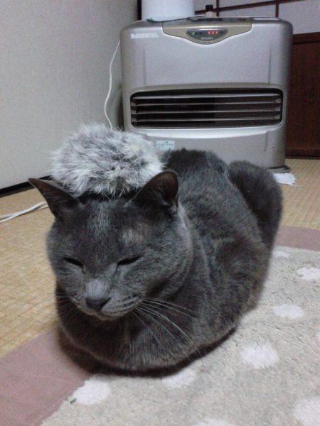 頭に毛玉を乗せた灰色猫ししゃも