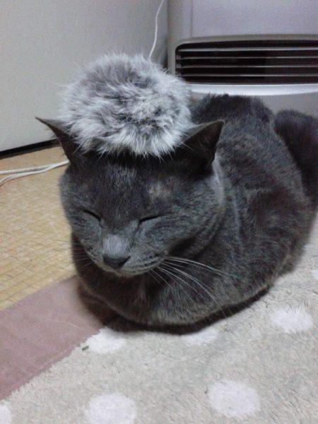 頭にフワフワ毛玉を乗せた灰色猫ししゃも
