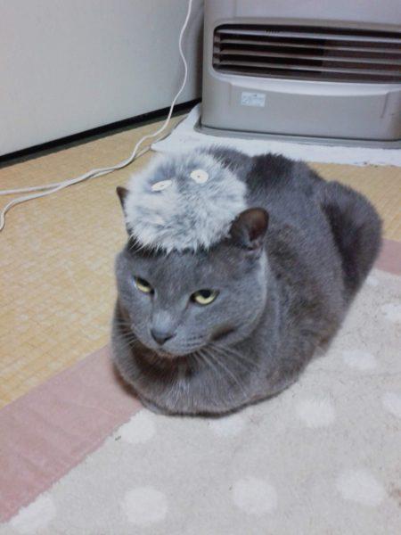 まっくろくろすけみたいな毛玉を頭に乗せた灰色猫ししゃも
