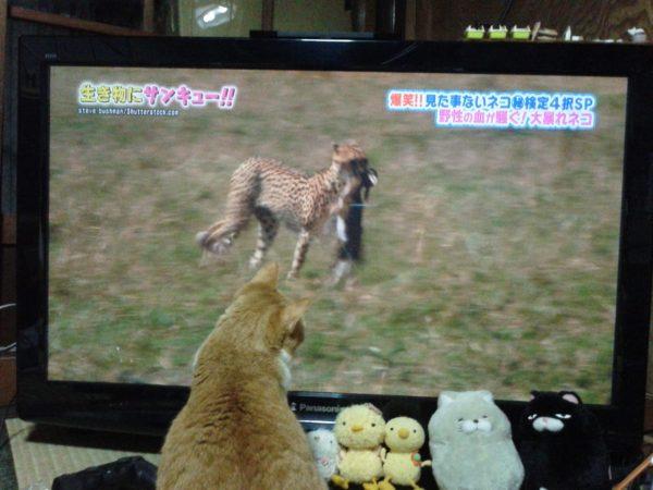 猫のテレビ観ている黄色猫きなこ