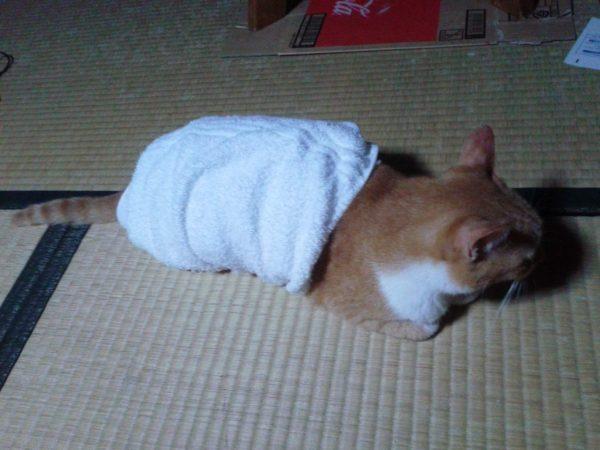 寒そうな黄色猫きなこに腹巻まいてみた