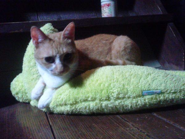 モフモフかえるクッションをフミフミする黄色猫きなこ