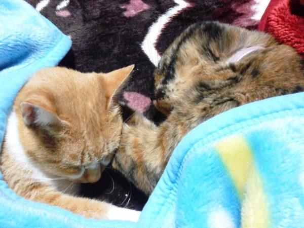 普段仲良くないさび猫しめじと黄色猫きなこが仲良くなっているところ