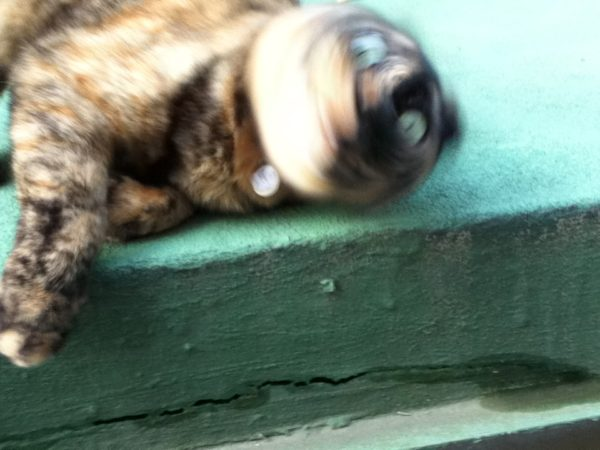 ネコの写真ヘタクソ選手権さび猫しめじ