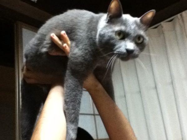 祭り上げられた灰色猫ししゃも
