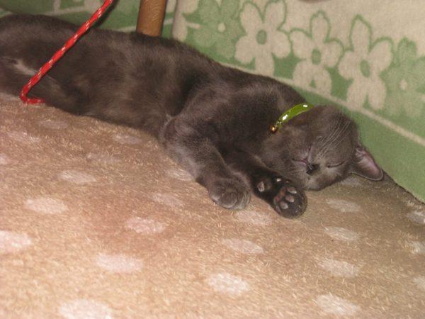 コタツの中で溶けてる灰色猫ししゃも