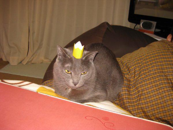 王冠被ってコタツに入る灰色猫ししゃも