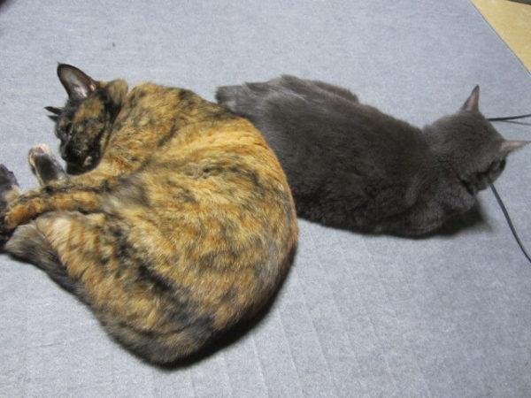 ホットカーペットで溶けてる灰色猫ししゃもとさび猫しめじ