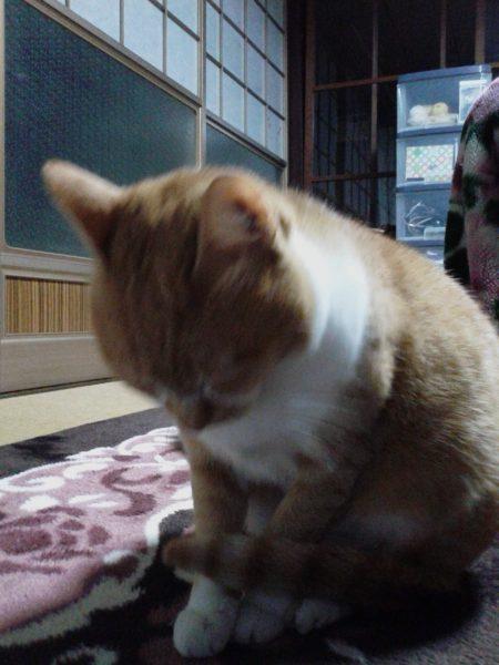 立ったまま寝てる黄色猫きなこ