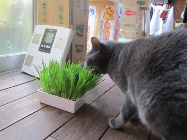 猫草を食べる灰色猫ししゃも