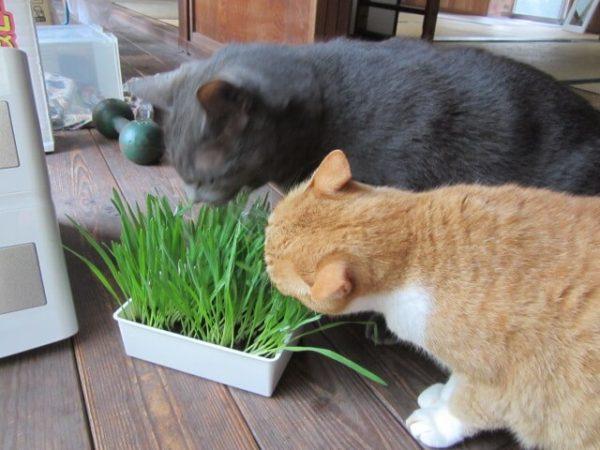 猫草を食べる草食系灰色猫ししゃもと黄色猫きなこ