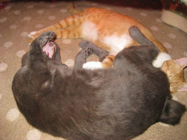 コタツの中で大あくびするうさぎ尻尾の灰色猫ししゃもと、その尻に顔をうずめる黄色猫きなこ
