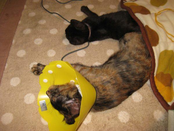 猫の去勢、避妊手術について、さび猫しめじの手術直後