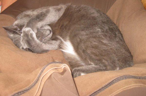 猫の去勢、避妊手術について、灰色猫ししゃも