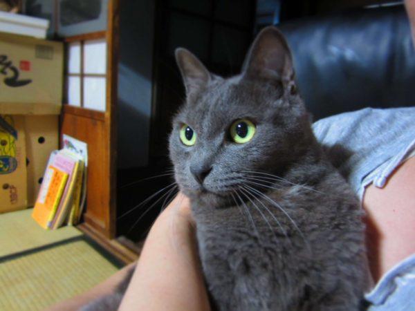 珍しくカワイイかおした灰色猫ししゃも