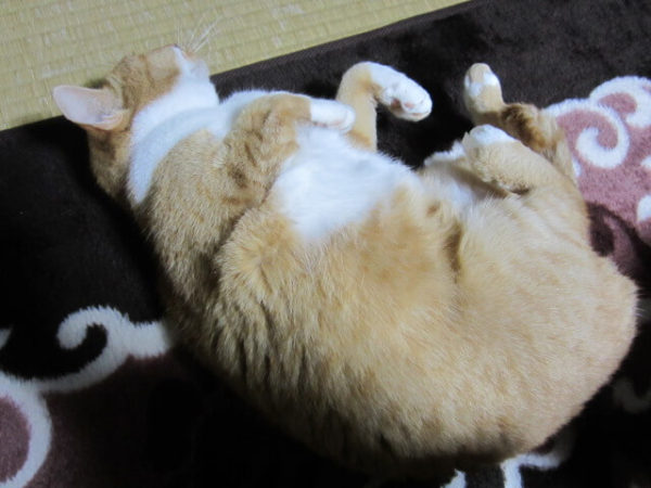 デーンと寝ているムチムチの黄色猫きなこ