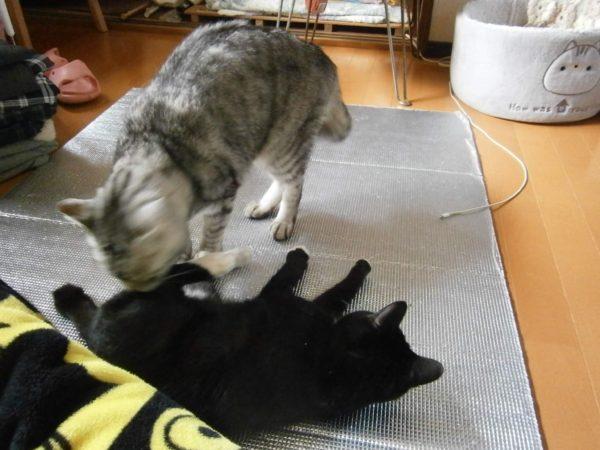 猫の去勢、避妊手術について