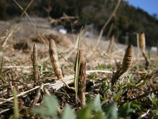田舎暮らしで春のご馳走、つくしを食べてみた