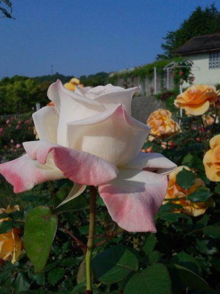 今が見頃(*´ω`*)バラを見に行ってきました
