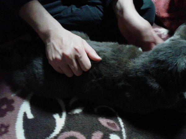 猫にマッサージ【猫つまみ】