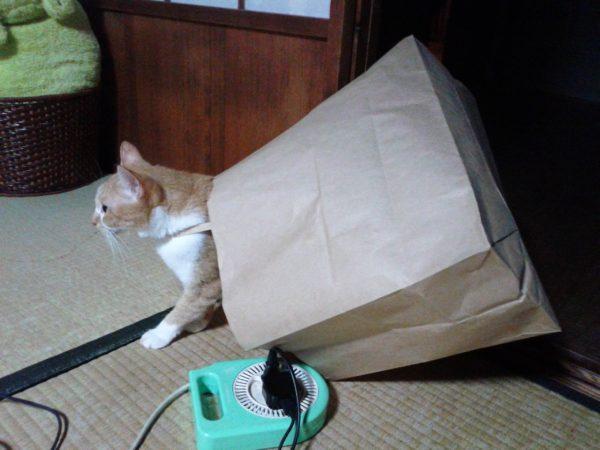 買い物に行こうとしている(?)黄色猫きなこ