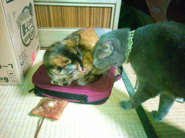 猫にマタタビあげてみた