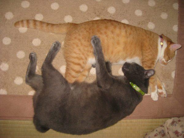寄り添って寝る黄色猫と灰色猫の画像