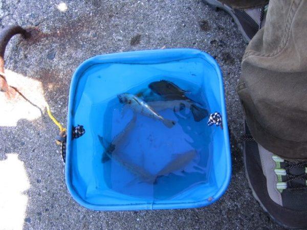 サビキ釣りで釣った雑魚