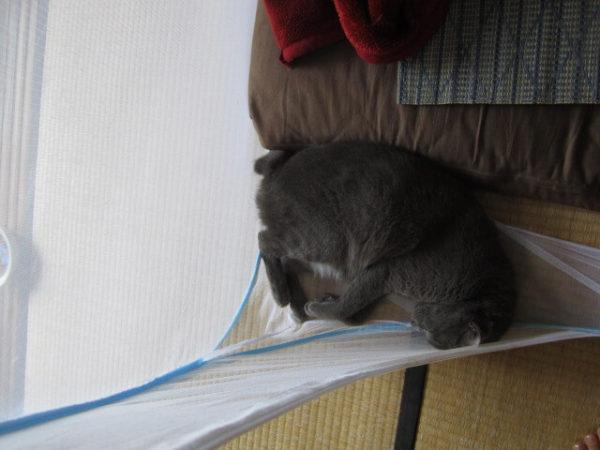 蚊帳の隅っこで寝る灰色猫 その4