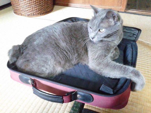 義叔父のおかげで病院が先延ばしになった灰色猫