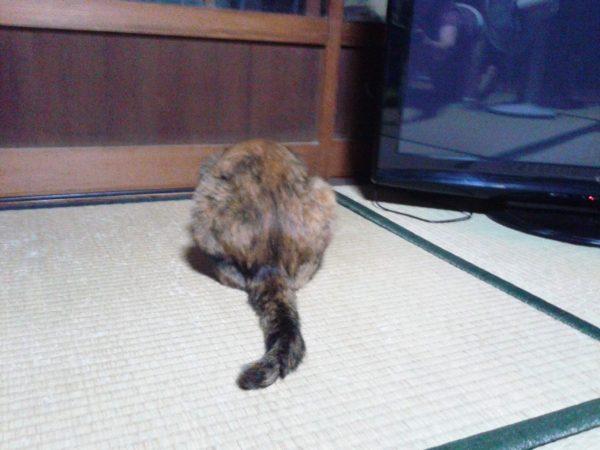 カギしっぽのまだら猫
