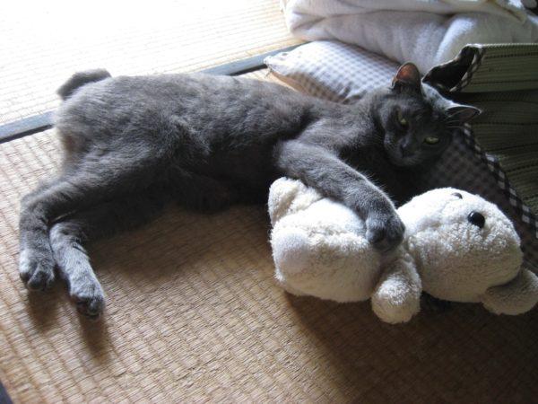 くまちゃんを抱きしめる灰色猫