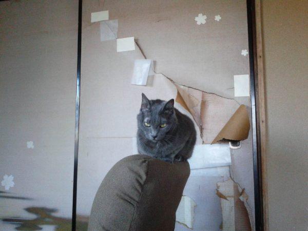座椅子に乗っかる灰色猫