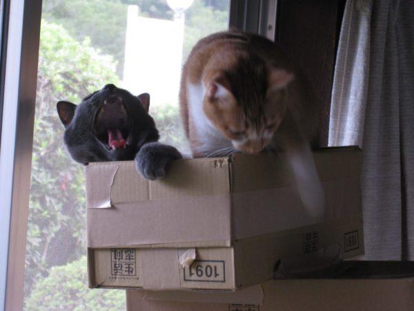 大あくびする灰色猫とブレてる黄色猫
