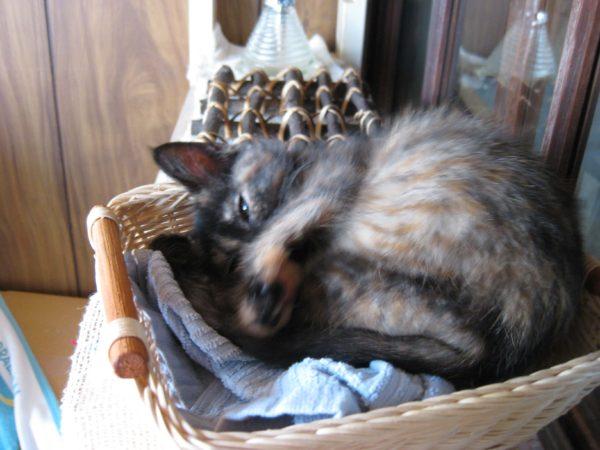 さび猫おしめの子猫時代