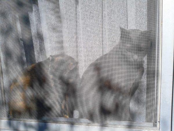 網戸の奥から外をみる灰色猫とさび猫