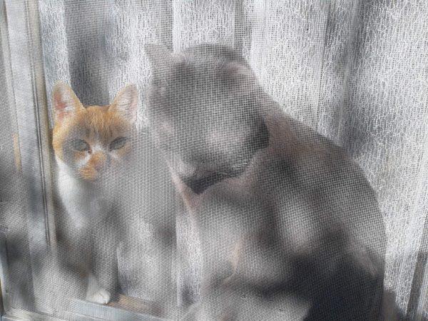網戸の奥から外を見る灰色猫と黄色猫