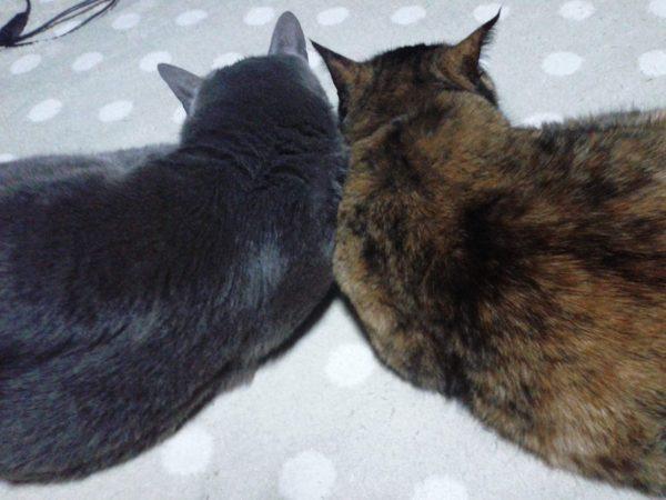 久しぶりの仲良しショット灰色猫ししゃもとさび猫しめじ