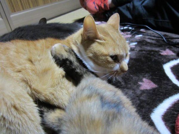 さび猫しめじが黄色猫きなこに蹴りをいれているところ