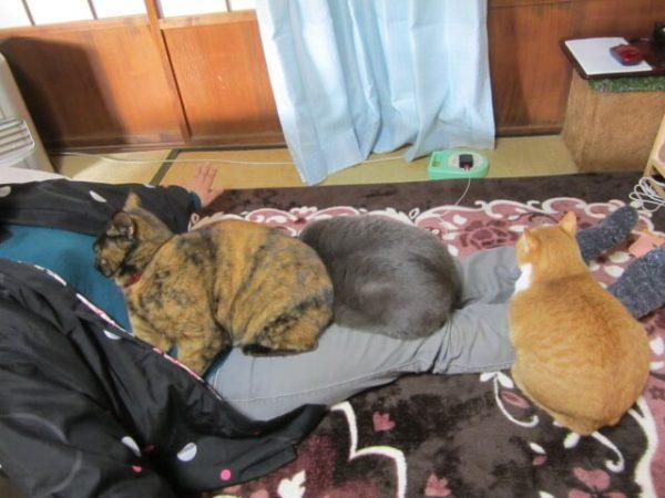猫との生活で困ること、3匹猫が乗って身動きがとれない