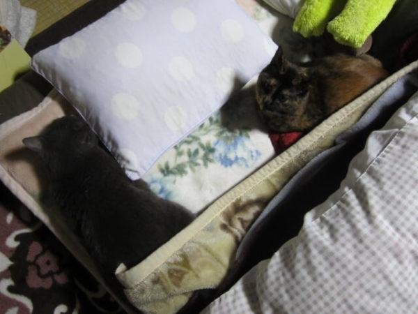 猫との生活で困ること、夜布団で身動きがとれない