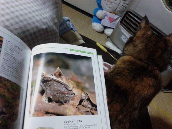 完全に一致…!(猫とカエル)さび猫しめじとミツヅノコノハガエル