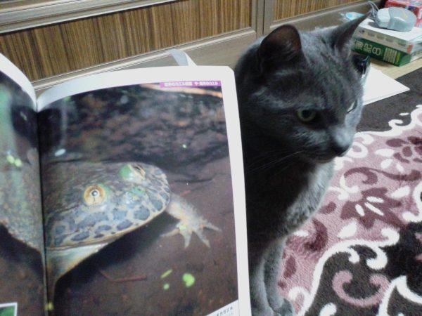 完全に一致…!(猫とカエル)灰色猫ししゃもとマルメタピオカガエル