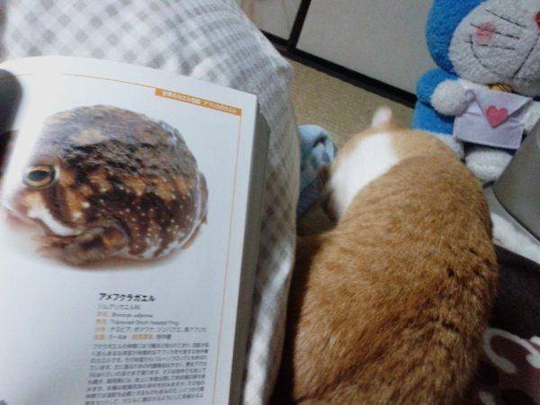 完全に一致…!(猫とカエル)黄色猫きなことアメフクラガエル