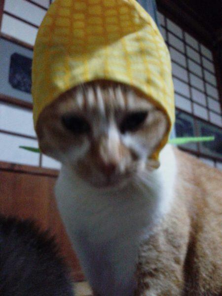 千葉のお土産。猫にとうもろこしの着ぐるみをあげてみた