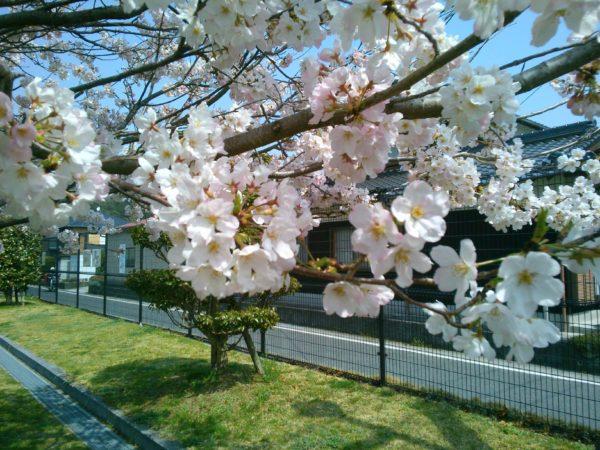 散歩道に白いレンゲが咲いてました。桜も満開