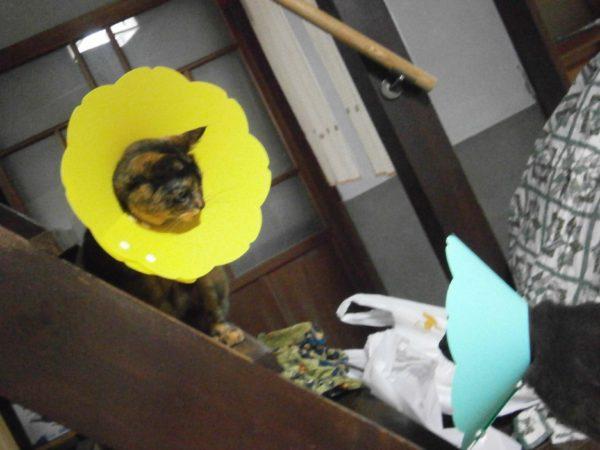 サビ猫しめじと灰色猫ししゃものケンカ【多頭飼い猫同士の、けがを伴うケンカ】