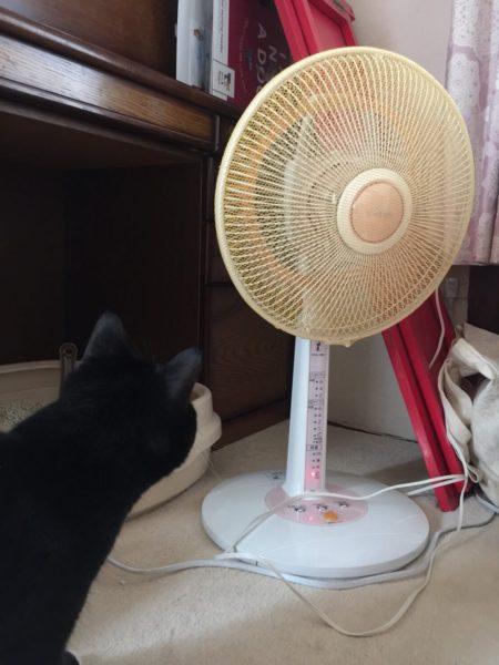 義弟猫とりもちの初体験シリーズ・扇風機
