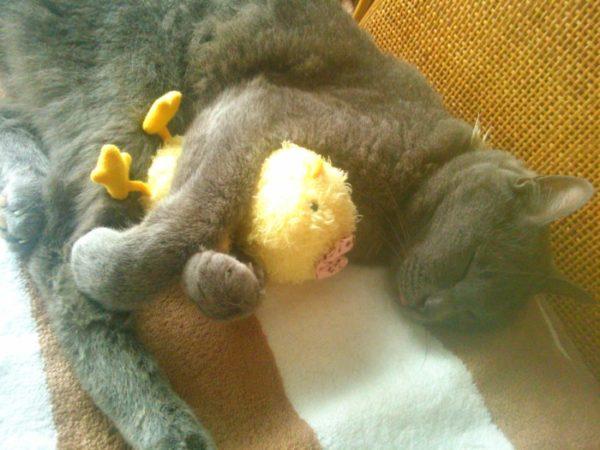 ひよこのぬいぐるみを抱いて寝る灰色猫ししゃも