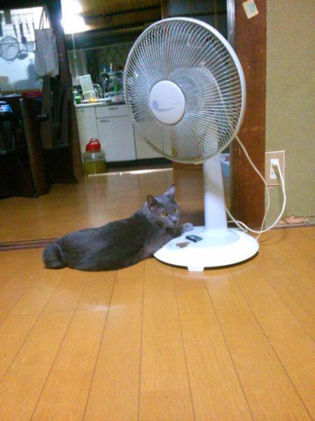 夏になると扇風機と仲良しになる灰色猫ししゃも